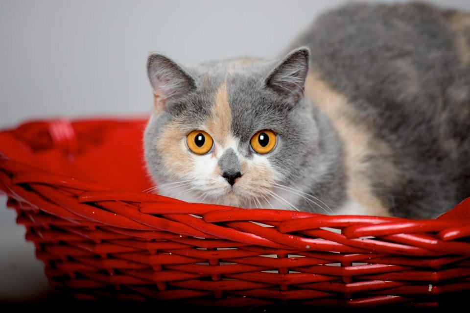 Allevamento British Shorthair>